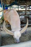 Weißer Büffel Stockfotografie