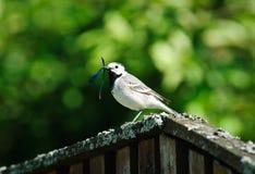 Weißer Bachstelzevogel, der Libelle auf Bretterzaun isst Lizenzfreie Stockbilder