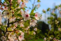 Weißer Baum der Blüte im Regenten Park London stockfotos
