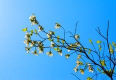 Weißer Baum des blühenden Hartriegels (Kornelkirsche Florida) in der Blüte im Sonnenlicht Lizenzfreie Stockfotografie