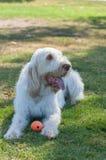 Weißer behaarter Hund, der im Schatten keucht Stockfotografie