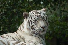 Weißer Benagal-Tiger - Sibirier Albino Tiger Stockfotos