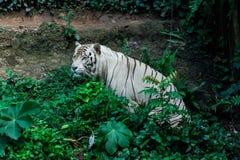 Weißer Bengal-Tiger Stockbild