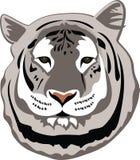 Weißer Bengal-Tiger Stockfotografie