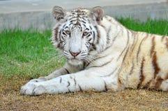 Weißer Bengal-Tiger Lizenzfreies Stockbild