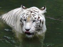Weißer Bengal-Tiger Stockfotos