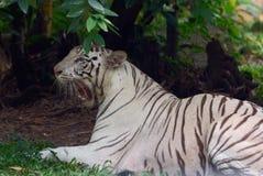 Weißer Bengal-Tiger Lizenzfreie Stockfotos