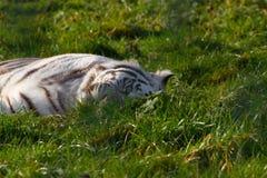 Weißer Bengal-Tiger im Ruhezustand Lizenzfreie Stockfotos