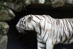 Weißer Bengal-Tiger im Zoo Lizenzfreie Stockbilder