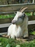 Weißer Billy Goat lizenzfreie stockfotos