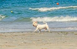 Weißer bishon Hund, der auf den Strand nahe Wellen des blauen Wassers geht Lizenzfreie Stockfotografie
