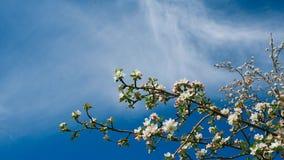 Weißer blühender Apfelbaumast stock video