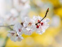 Weißer blühender Baum der scharfen und defocused Blumen Altes gelbes Papier auf dunklem Hintergrund Blühende Baumaste mit weißen  Lizenzfreie Stockbilder