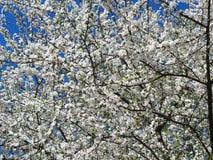 Weißer blühender Pflaumenbaum, Litauen Lizenzfreie Stockfotos