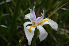 Weißer blühender Sibirier Iris Flower in einem Garten Lizenzfreie Stockfotografie