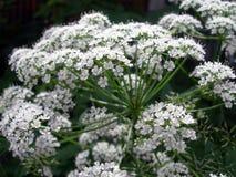Weißer Blütenstand Stockfoto