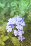 Weißer Bleiwurz oder Kap Leadwort im Garten Stockbilder