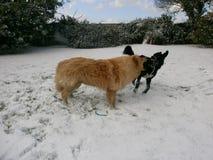 Weißer blonder Schäferhund Dog und bester Freund, der im Schnee spielt Stockfotografie