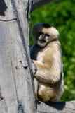 Weißer Cheeked Gibbon 3 lizenzfreie stockfotos