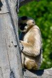Weißer Cheeked Gibbon 4 Stockfotografie