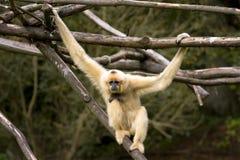 Weißer Cheeked Gibbon Stockbild