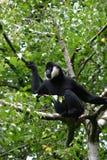 Weißer cheeked Gibbon Stockfoto