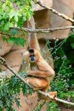 Weißer-cheeked Gibbon Lizenzfreie Stockfotografie