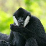 Weißer cheeked Gibbon Lizenzfreie Stockbilder