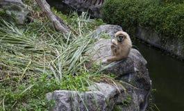 Weißer cheeked Gibbon Lizenzfreie Stockfotografie
