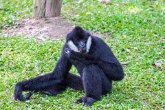 Weißer-cheeked Gibbon Lizenzfreie Stockfotos