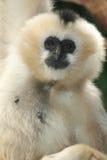 Weißer-cheeked Gibbon Stockfotografie
