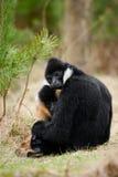 Weißer-cheeked Gibbon (Nomascus leucogenys) Lizenzfreie Stockbilder