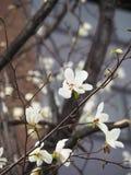 Weißer Cherry Blossom/Kirschblüte Stockfotos