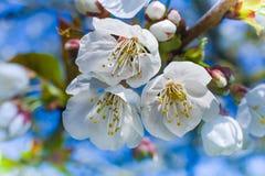 Weißer Cherry Blossoms Stockfotos
