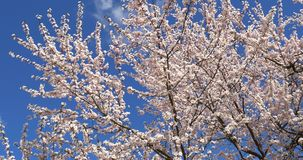 Weißer Cherry Plum Tree Flowers In Spring stock footage