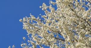 Weißer Cherry Plum Tree Flowers In Spring stock video