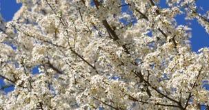 Weißer Cherry Plum Tree Flowers In Spring stock footage