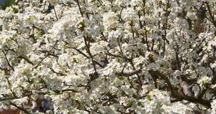Weißer Cherry Plum Tree Flowers In Spring stock video footage