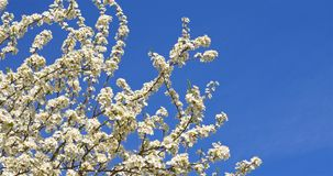 Weißer Cherry Plum Tree Flowers In Spring stock video footage