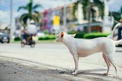 Weißer Chihuahuahund, der in Richtung der Straße blickt Stockfoto