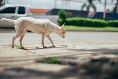 Weißer Chihuahuahund, der in Richtung der Straße blickt Stockbild
