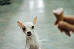 Weißer Chihuahuahund erschrocken von der Eistüte Stockfotografie