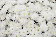Weißer Chrysanthemehintergrund Lizenzfreies Stockbild