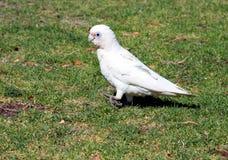 Weißer Cockatoo Stockbilder