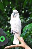 Weißer Cockatoo lizenzfreie stockbilder