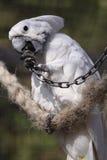 Weißer Cockatoo lizenzfreie stockfotos