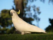 Weißer Cockatoo in einem Park stockbilder