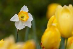 Weißer Daffadil-Herausragendgelb-Tulpenhintergrund Stockfotografie