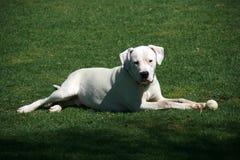 Weißer dogo argentino Hund mit dem Ball, der auf grünem Gras liegt lizenzfreies stockfoto