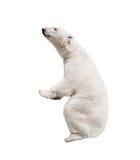 Weißer Eisbär Lizenzfreies Stockbild